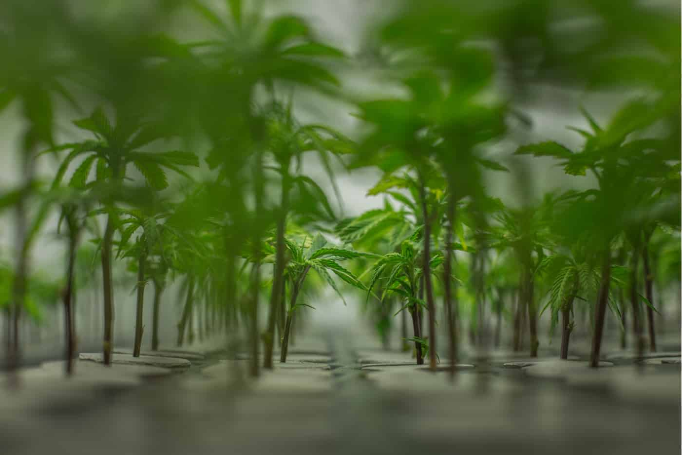 Plants in an environmentally controlled indoor grow